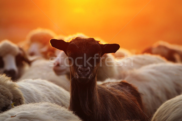 portrait of young goat amongst sheep herd Stock photo © taviphoto