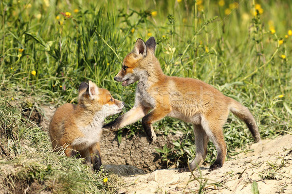 red fox brothers playing in clearing Stock photo © taviphoto