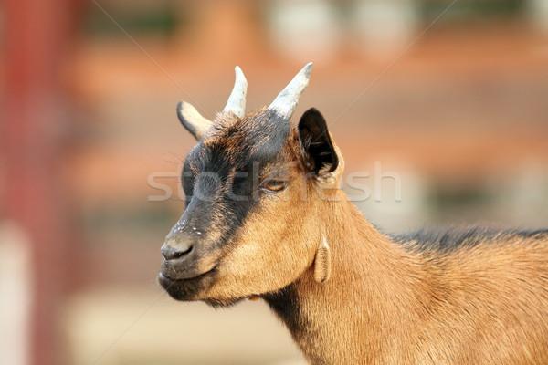 Bege cabra pequeno jovem masculino Foto stock © taviphoto