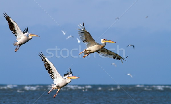 great pelicans taking off from sea surface Stock photo © taviphoto