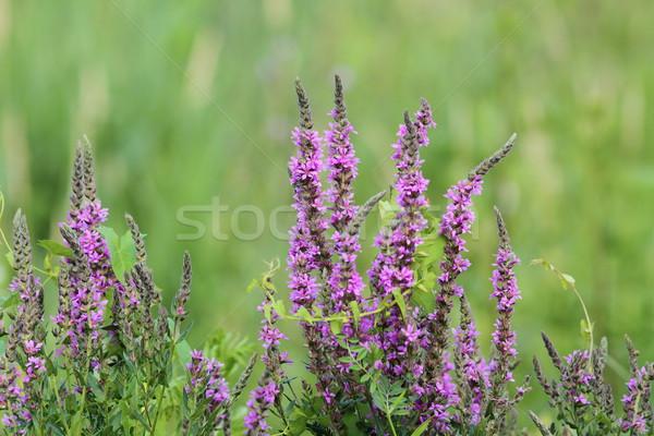 Púrpura flores silvestres creciente verano temporada fondo Foto stock © taviphoto