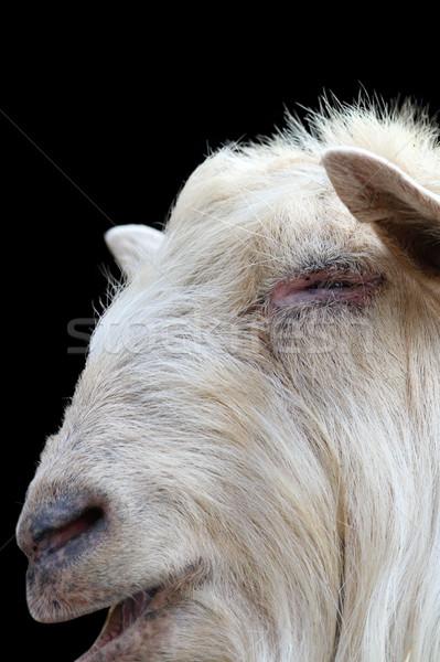 Fehér kos portré sötét kecske izolált Stock fotó © taviphoto