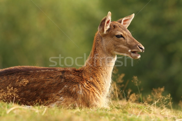 young fallow deer on a meadow Stock photo © taviphoto