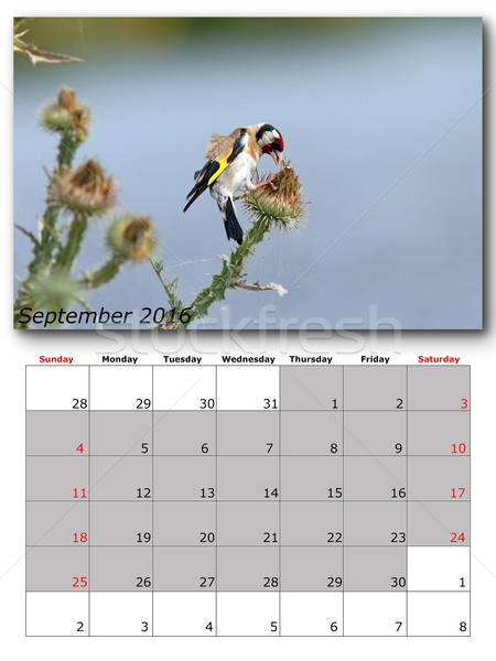 garden birds calendar  september 2016 Stock photo © taviphoto