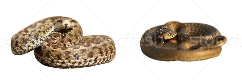 Stock photo: grass snake and meadow viper over white