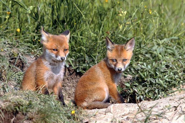 red fox cubs resting near the burrow Stock photo © taviphoto