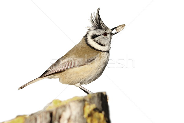 isolated crested tit eating seed Stock photo © taviphoto