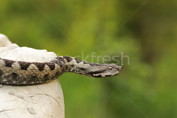 Stock photo: dangerous nose horned viper