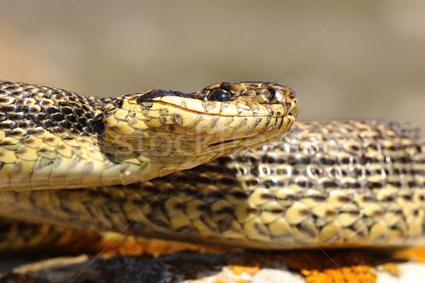 Węża makro obraz portret sam zwierząt Zdjęcia stock © taviphoto