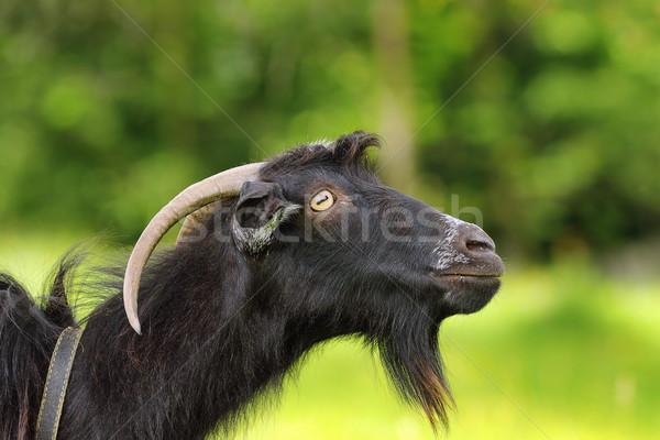 black bearded goat portrait Stock photo © taviphoto