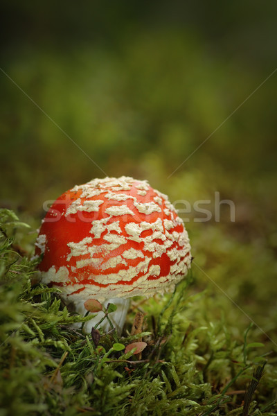 colorful fly agaric growing on moss Stock photo © taviphoto