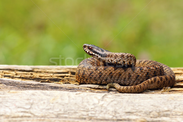 juvenile Vipera berus basking on wooden plank Stock photo © taviphoto