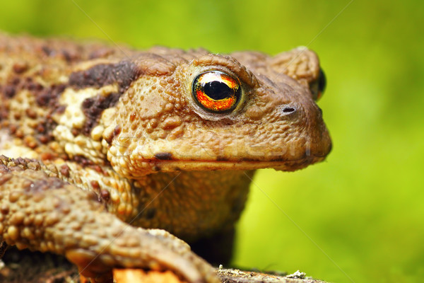 macro portrait of Bufo bufo toad Stock photo © taviphoto