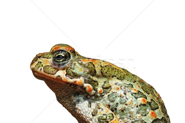 プロファイル 孤立した ヨーロッパの 緑 ヒキガエル 白 ストックフォト © taviphoto