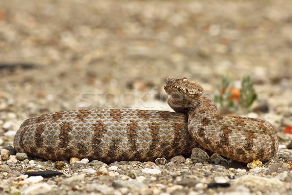Veszélyes kész sztrájk egy európai kígyók Stock fotó © taviphoto