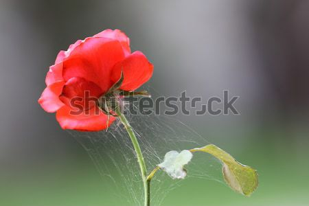 spider net on red rose Stock photo © taviphoto