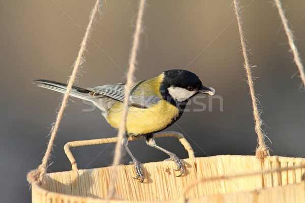 great tit eating seeds Stock photo © taviphoto