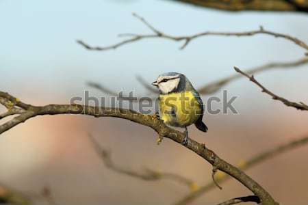 great tit hiding amongst the twigs Stock photo © taviphoto