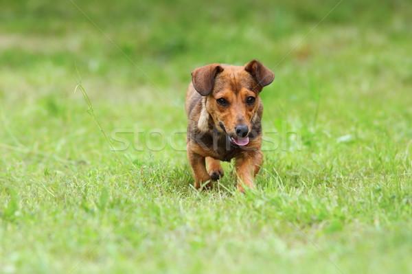 small dog running on green lawn Stock photo © taviphoto