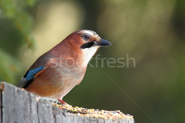 eurasian jay standing on stump Stock photo © taviphoto