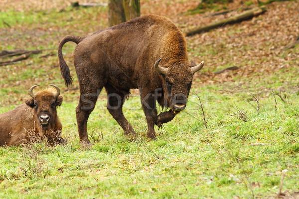 european bison on meadow Stock photo © taviphoto