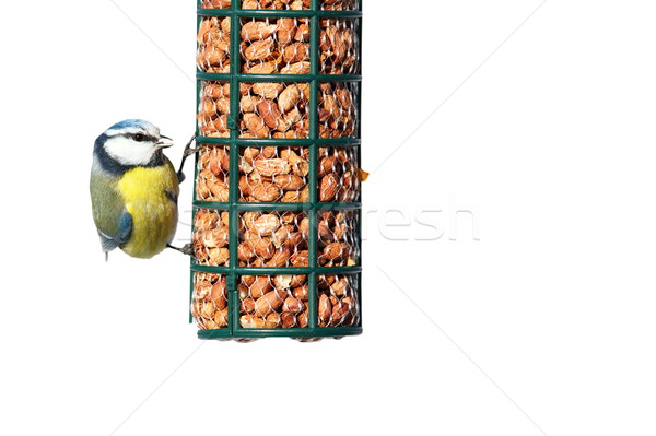 Stock photo: isolated hungry blue tit