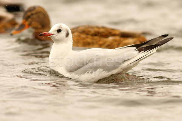 juvenile black headed gull on water Stock photo © taviphoto