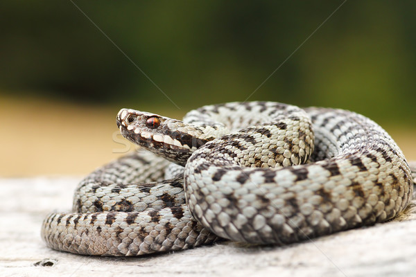 beautiful common crossed viper basking on wood stump Stock photo © taviphoto