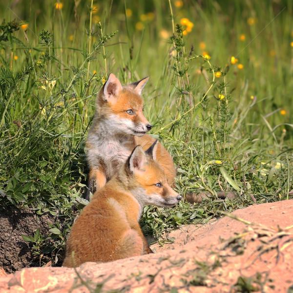 Róka tavasz család fű narancs zöld Stock fotó © taviphoto