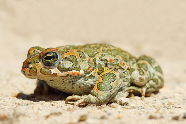 full length image of young green common toad Stock photo © taviphoto