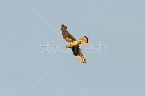 common kestrel in flight Stock photo © taviphoto