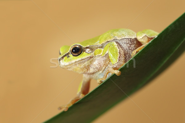 hyla arborea on a leaf Stock photo © taviphoto