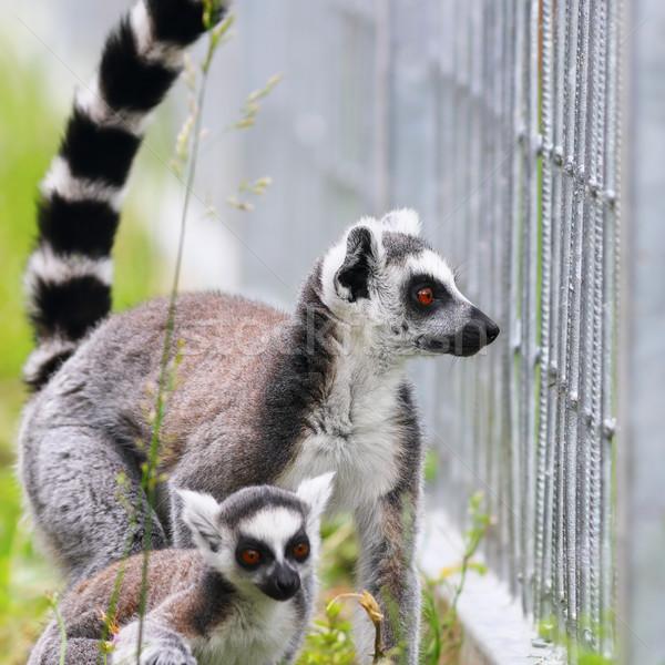 ring tailed lemur family Stock photo © taviphoto