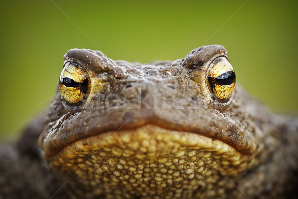 macro portrait of cute toad Stock photo © taviphoto