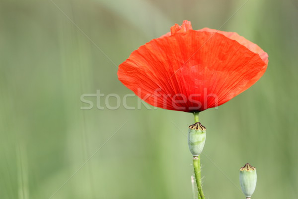 detail of a red poppy Stock photo © taviphoto