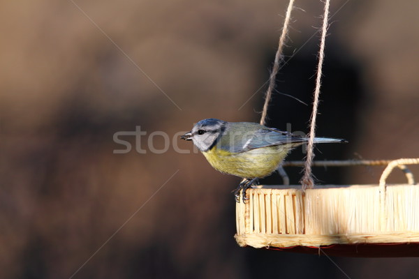 blue tit on a seed feeder Stock photo © taviphoto
