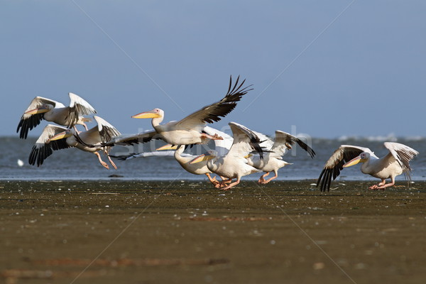 pelicans flock taking flight from the beach Stock photo © taviphoto