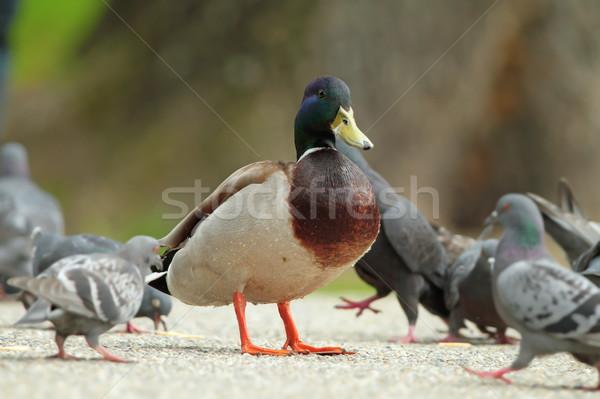 male mallard duck standing proud amongst pigeons Stock photo © taviphoto