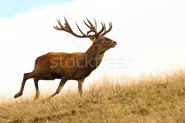 Piros szarvas fut vad erdő mező Stock fotó © taviphoto