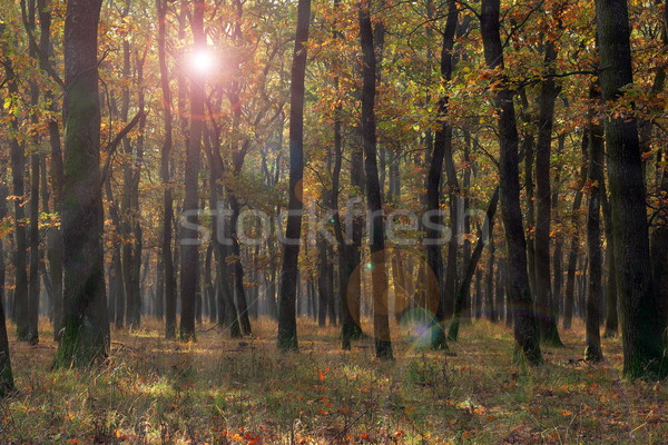 forest view in fall season Stock photo © taviphoto