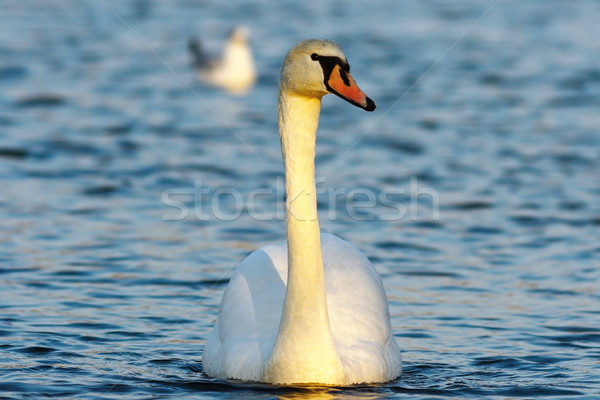 mute swan on blue water Stock photo © taviphoto