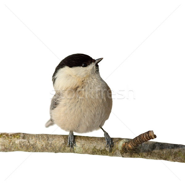 perched coal tit isolated on white Stock photo © taviphoto