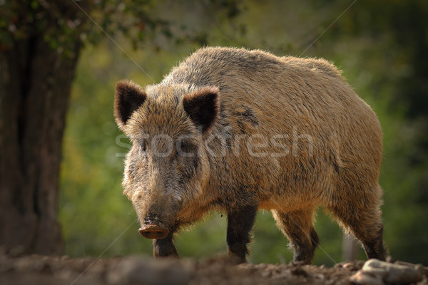 huge wild boar coming towards the camera Stock photo © taviphoto