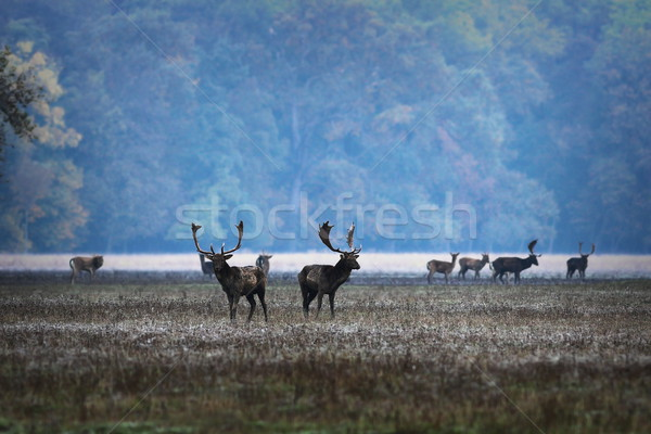 fallow deers in mating season, morning image Stock photo © taviphoto