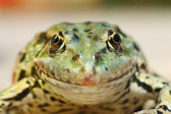 Béka portré néz kamera természet háttér Stock fotó © taviphoto