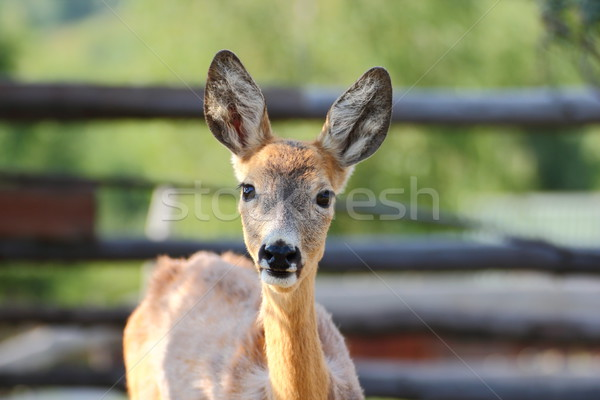 young roe deer doe Stock photo © taviphoto