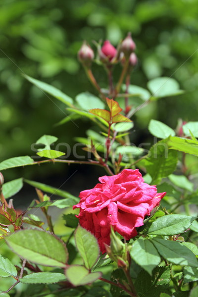 pink rose in the garden Stock photo © taviphoto