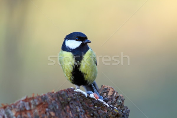 great tit came  on a stump for food Stock photo © taviphoto