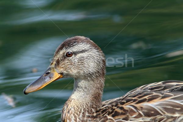 profile of a female mallard duck Stock photo © taviphoto