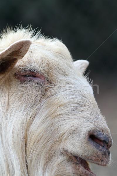 Retrato grande blanco carnero imagen ojo Foto stock © taviphoto